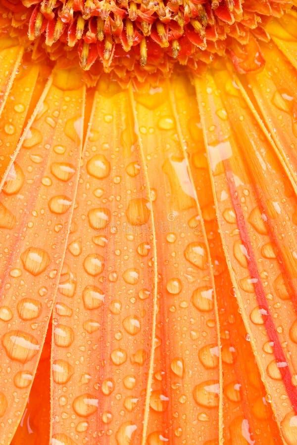 De dalingen van het water op oranje madeliefje stock fotografie