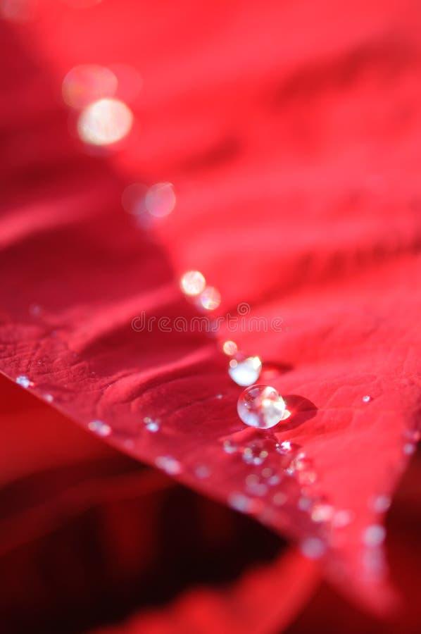 De dalingen van het water op rode poinsettia royalty-vrije stock foto's