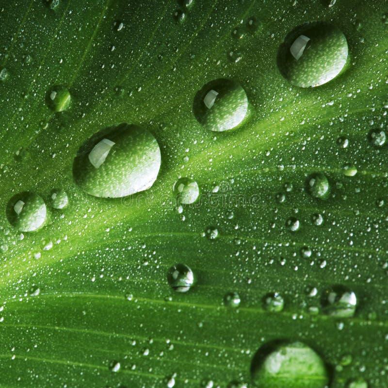 De dalingen van het water op vers groen blad royalty-vrije stock fotografie
