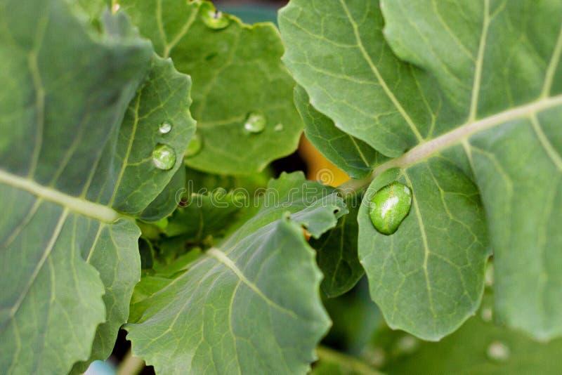 De dalingen van het water op verse groene bladeren stock fotografie