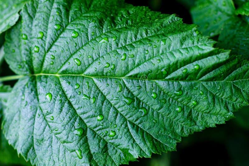 De dalingen van het water op verse groene bladeren royalty-vrije stock afbeeldingen