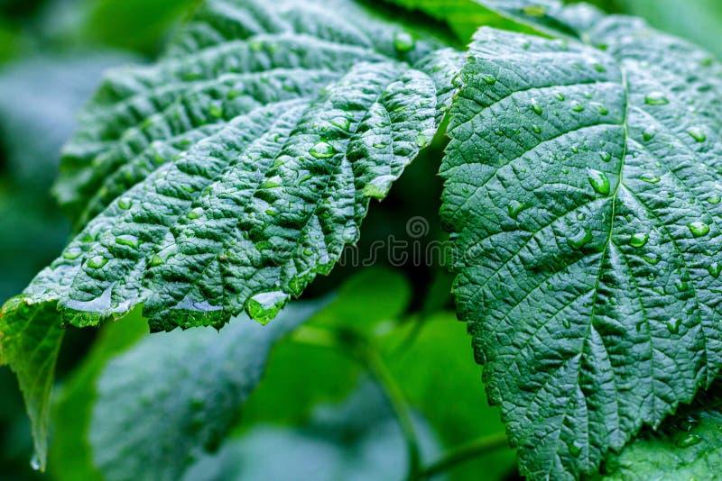 De dalingen van het water op verse groene bladeren stock foto