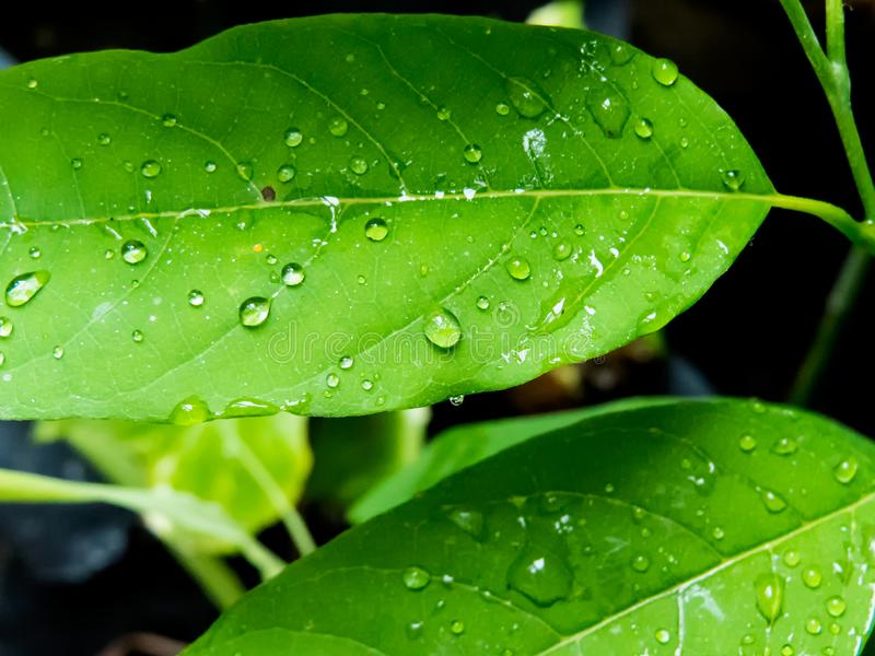 De dalingen van de regen op groene bladeren royalty-vrije stock fotografie
