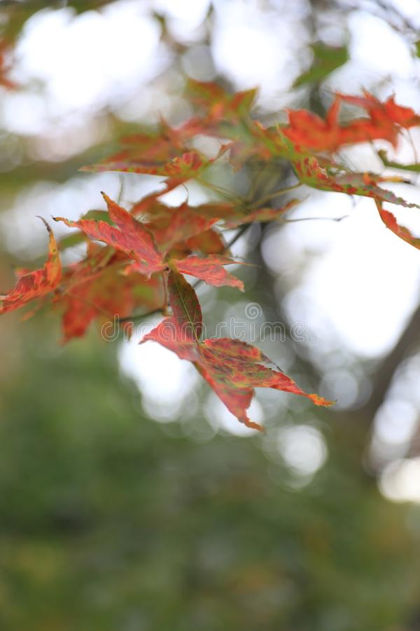 De dalingsbladeren van de herfst De bladeren van de esdoorn op achtergrond stock foto