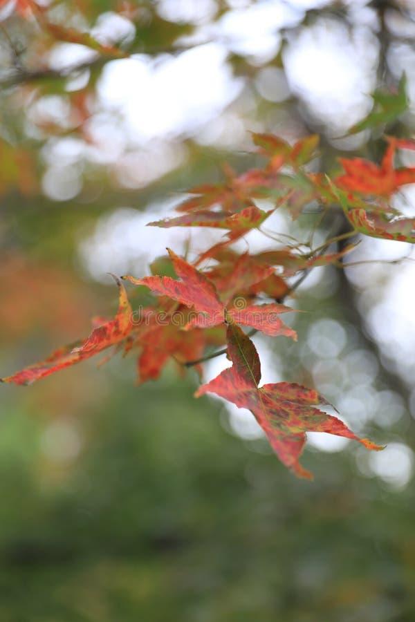 De dalingsbladeren van de herfst De bladeren van de esdoorn op achtergrond stock fotografie
