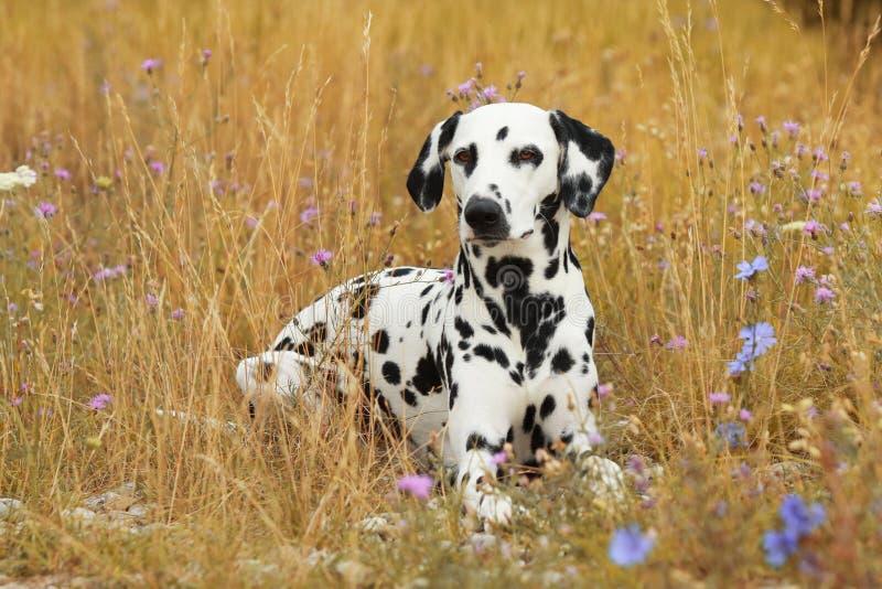 De Dalmatische hond ligt in een kleurrijke flowerfield stock foto