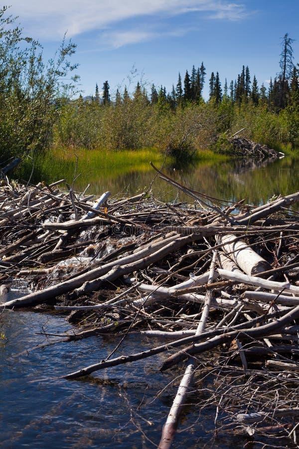 De Dam van de bever en brengt onder stock fotografie