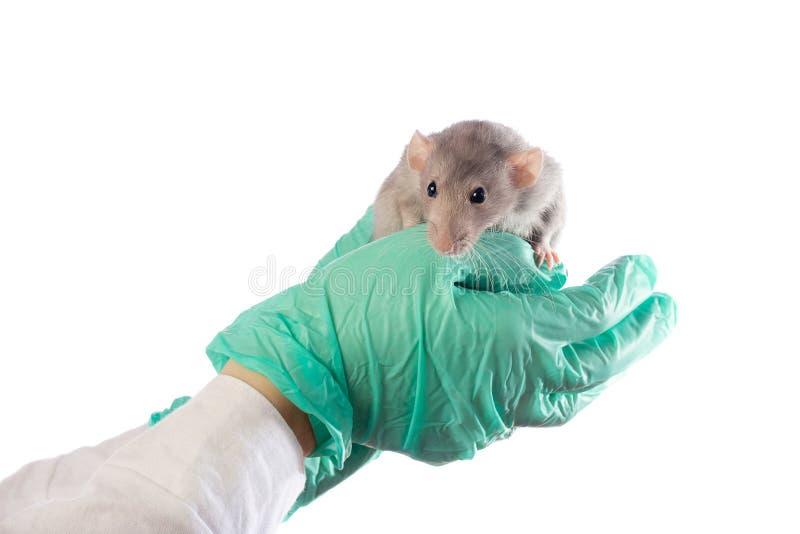 De Damborat op de handen van een dierenarts op een wit isoleerde achtergrond stock afbeeldingen