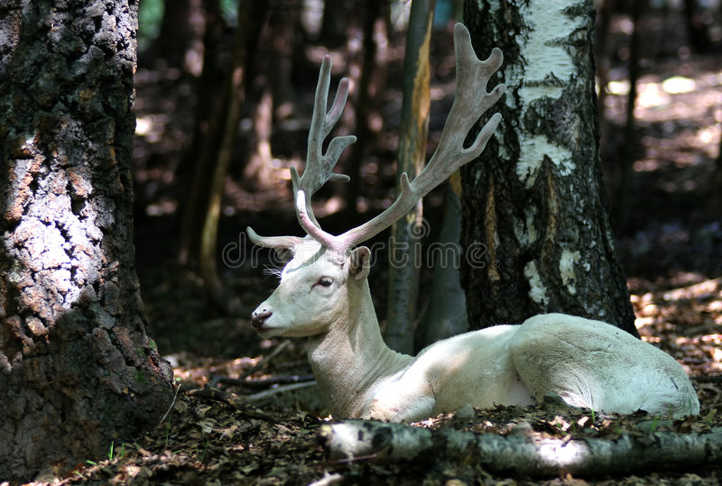 De Damherten van de albino in bos stock afbeelding