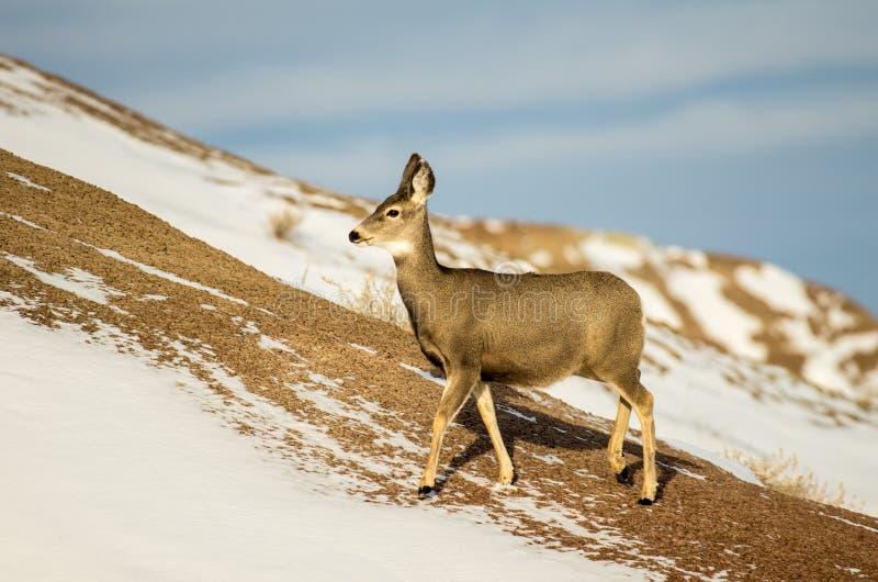 De Damhinde van muilezelherten in de Sneeuw in het Nationale Park van Badlands stock afbeelding