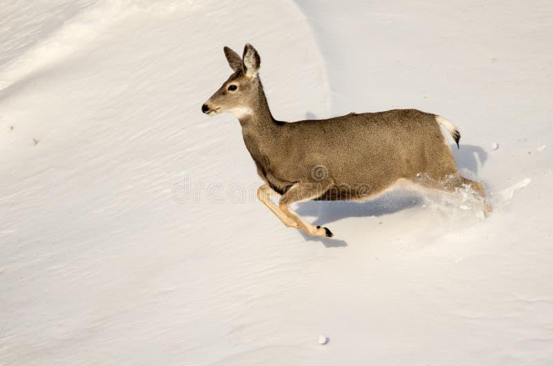 De Damhinde van muilezelherten in de Sneeuw in het Nationale Park van Badlands royalty-vrije stock afbeeldingen