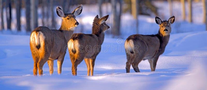 De Damhinde van muilezelherten met twee Jonge geitjes in de sneeuw royalty-vrije stock afbeelding