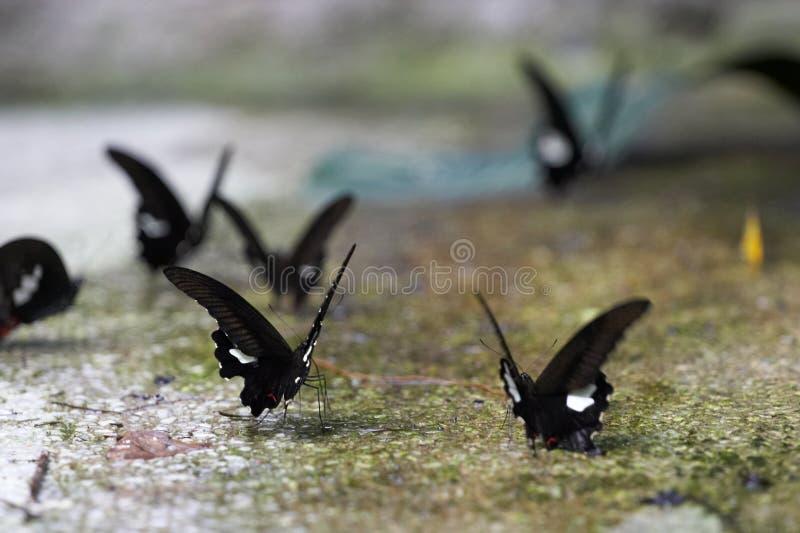 De Dans van de vlinder stock foto