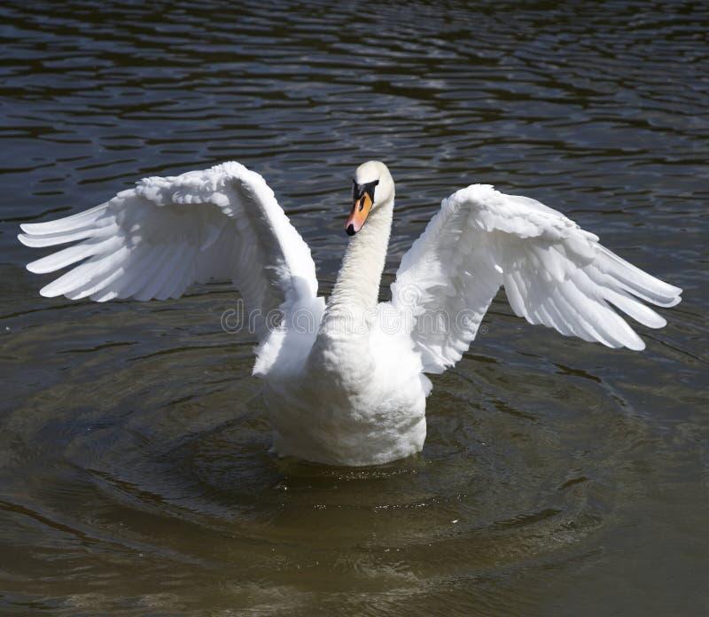 De Dans van de zwaan royalty-vrije stock afbeelding