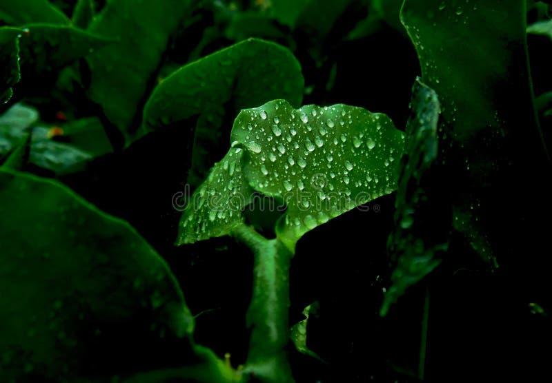 De dauw op green doorbladert na natuurlijk regeneffect stock fotografie