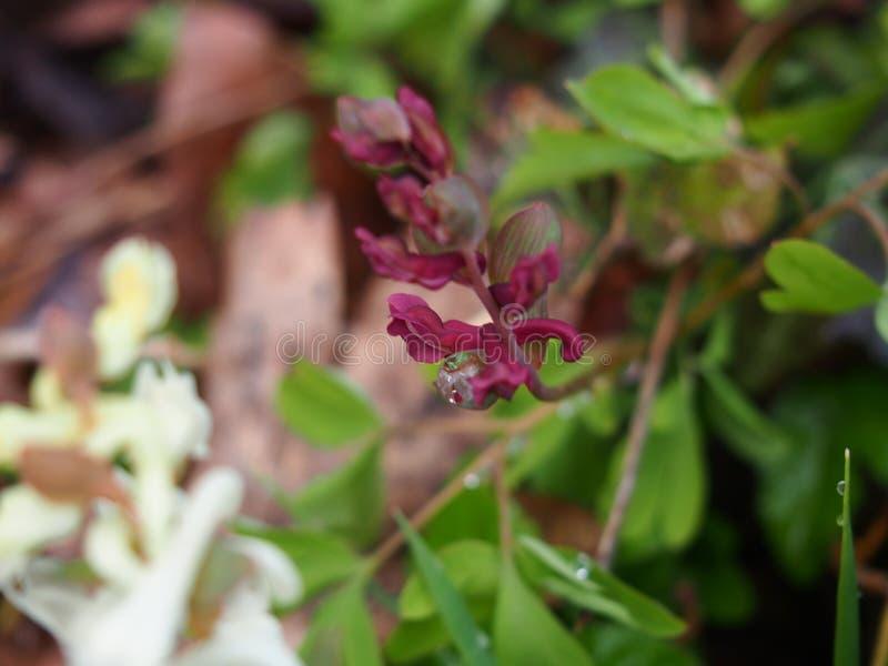 De dauw van het regenwater en rode purpere solida van bloemcorydalis, de botanische tuin van Berlijn dahlem stock fotografie