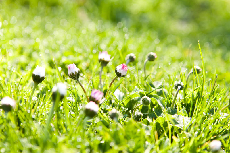 De dauw in vers gras stock foto