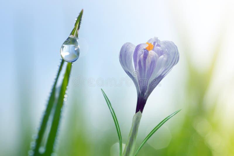 De dauwdalingen op een groen blad van gras en krokus bloeien dicht omhoog stock afbeeldingen