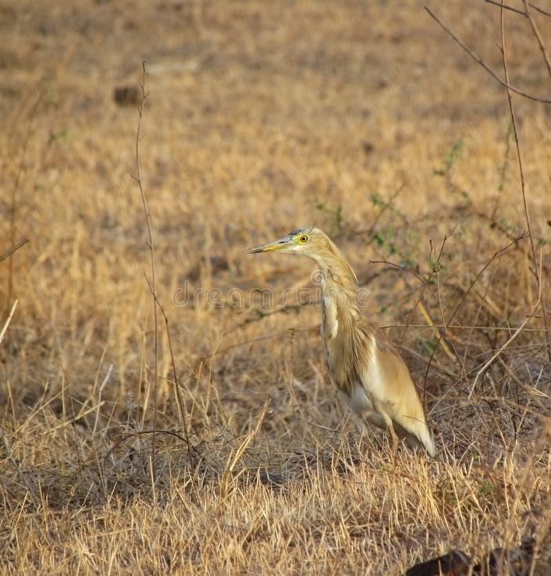 De de bruine vogel en habitat van de vijverreiger stock fotografie