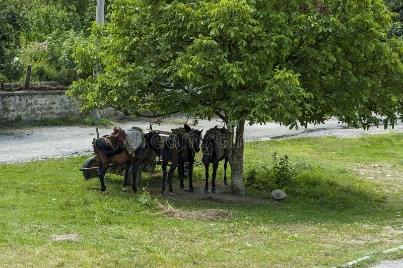 De de de zomerweide en groep pakken paardenontspanning onder grote okkernootboom in in Dushantsi-dorp, Centrale Balkan berg, Star royalty-vrije stock foto's