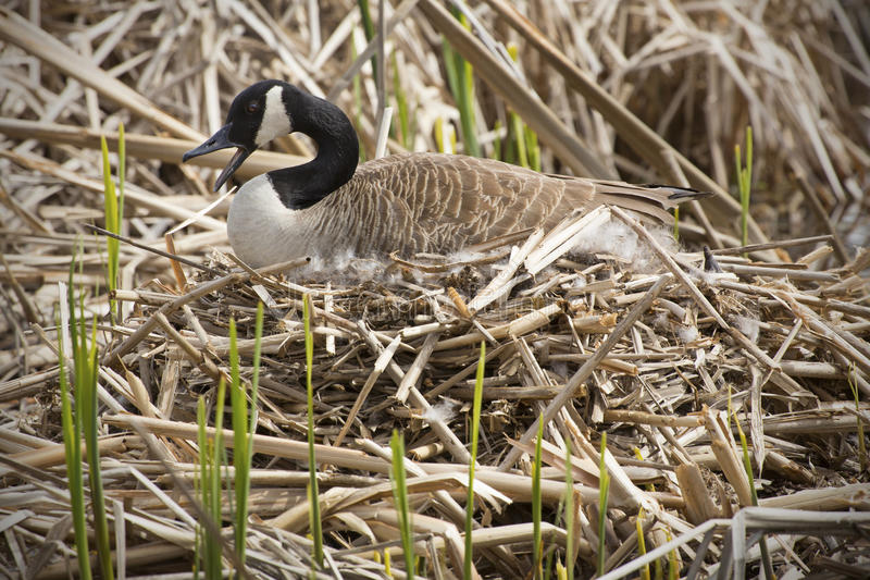 De de ganszitting van Canada op een nest, factureert open, Verdrag, Massachusetts stock foto