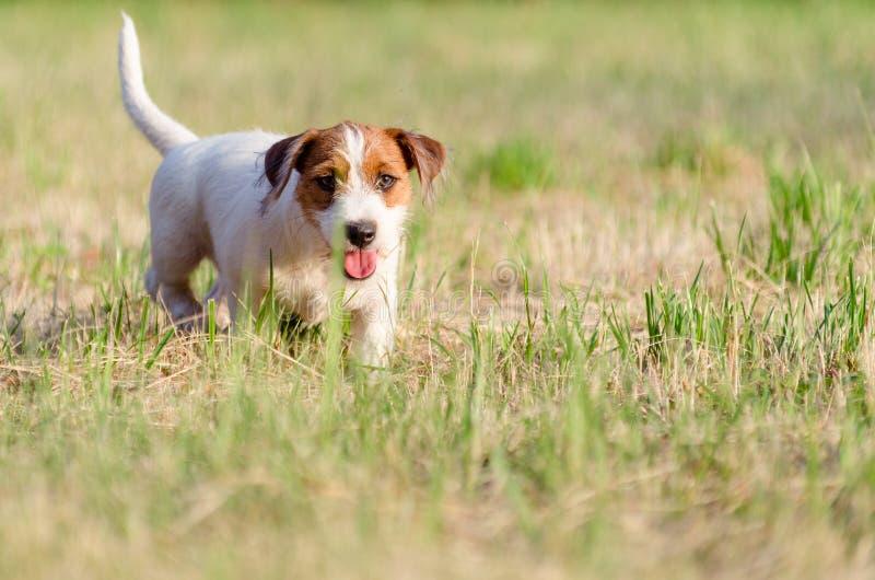 De de hefboom russel terriër van het hond rasechte puppy loopt rond een de zomerweide royalty-vrije stock foto