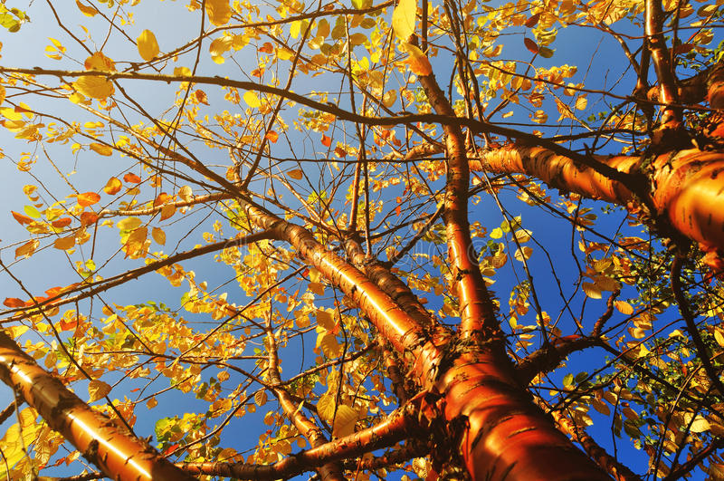 De de herfst vergeelde boom van de vogelkers - de herfst zonnig landschap onder de herfstzonlicht stock afbeeldingen