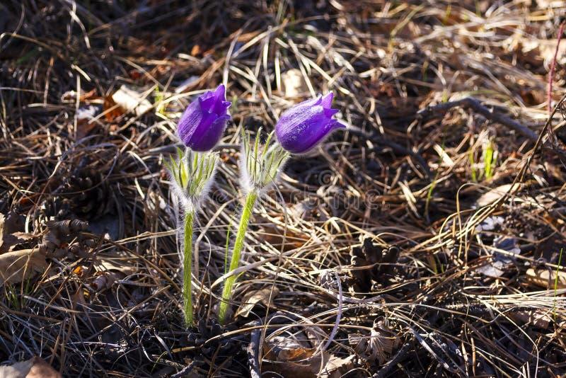 De de lentebloem Pulsatilla, groep purpere bloemen met zon glanst, op achtergrondzonsondergang of dageraad Eerste violette de len stock fotografie