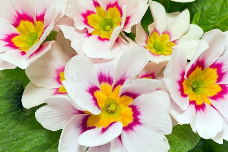 de de lentebloemen van kleurrijke primula sluiten omhoog royalty-vrije stock fotografie
