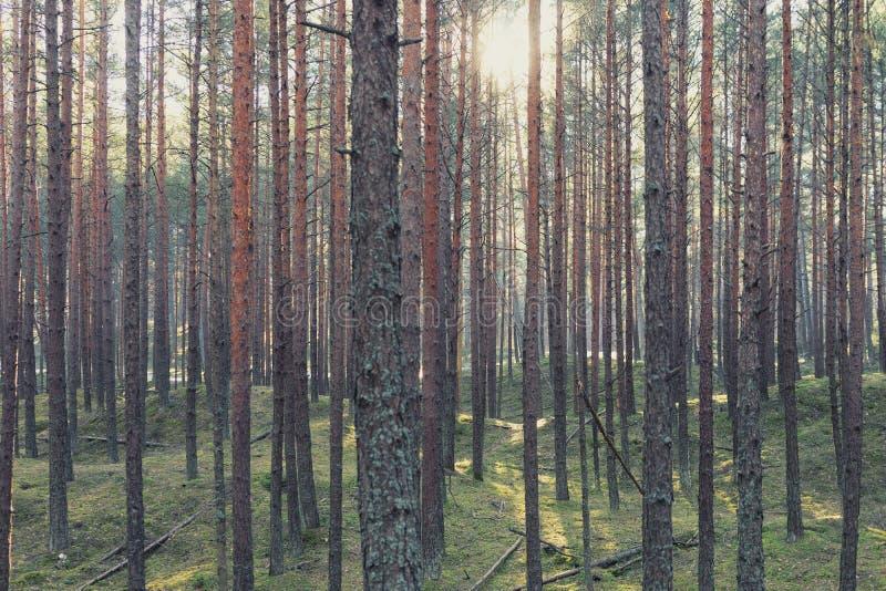 De de lentezon glanst door de bomen in het bos royalty-vrije stock afbeeldingen