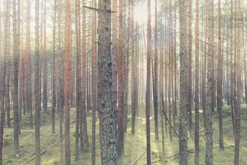 De de lentezon glanst door de bomen in het bos stock afbeelding