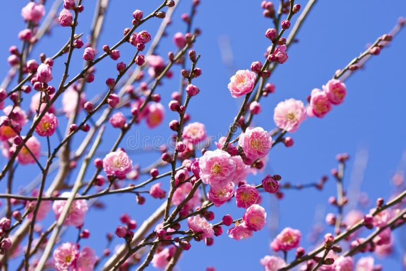 De de pruimbloesem van de lente vertakt zich roze bloem royalty-vrije stock fotografie