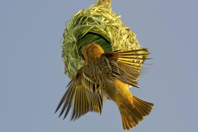 De de vogelbouw van de wever nest stock foto
