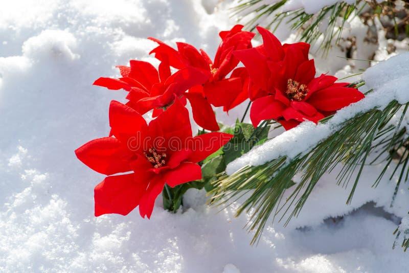 De decoratieconcept van de de wintervakantie: De bloeiende Vakantie Rode Poinsettia en de bevroren sneeuw behandelden de takjes v royalty-vrije stock afbeelding