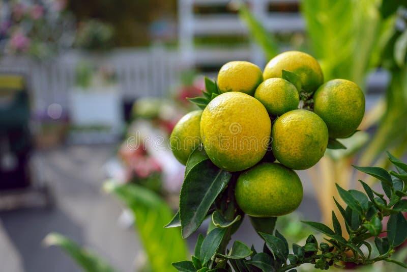 De decoratieve mandarijnen hangen op een boomtak royalty-vrije stock fotografie