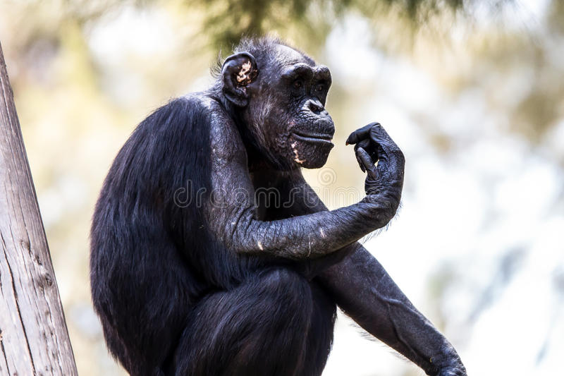 De Denkeraap chimpansee Dierentuin-Israël royalty-vrije stock fotografie