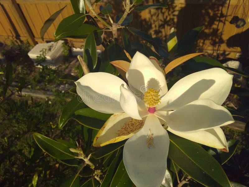 De dessus vue vers le bas d'une fleur de magnolia images stock