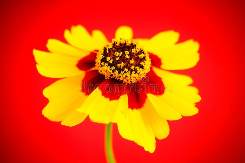 De details gele rode oranje wilde coreopsis van bloemvlaktes, gouden tuiniert tickseed Coreopsis-tinctoria tijdens de Lente en de stock fotografie
