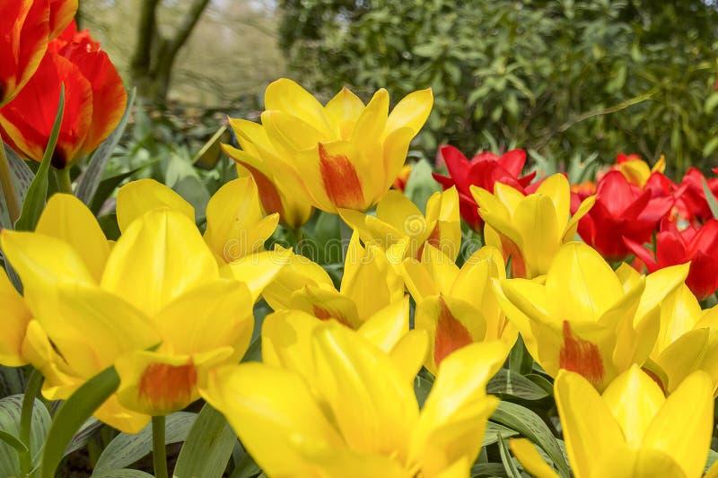 De details van mooie grote gele en rode tulpen in de bloem parkeren keukenhof in Lisse, Nederland royalty-vrije stock foto's