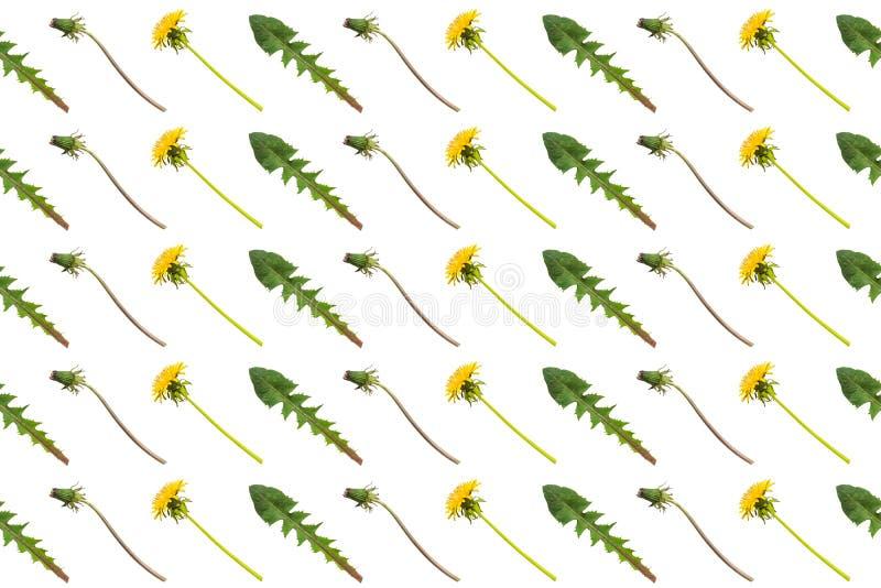 De diagonale rijen van paardebloem bloeit, knoppen en bladeren op een witte achtergrond royalty-vrije stock fotografie