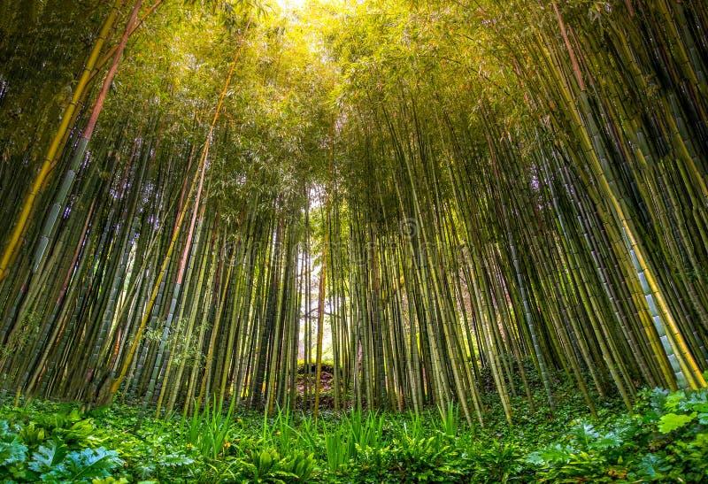De dichte filter van de zonstralen van het bamboe zen bosje bos door bomen in zenbosje royalty-vrije stock afbeelding