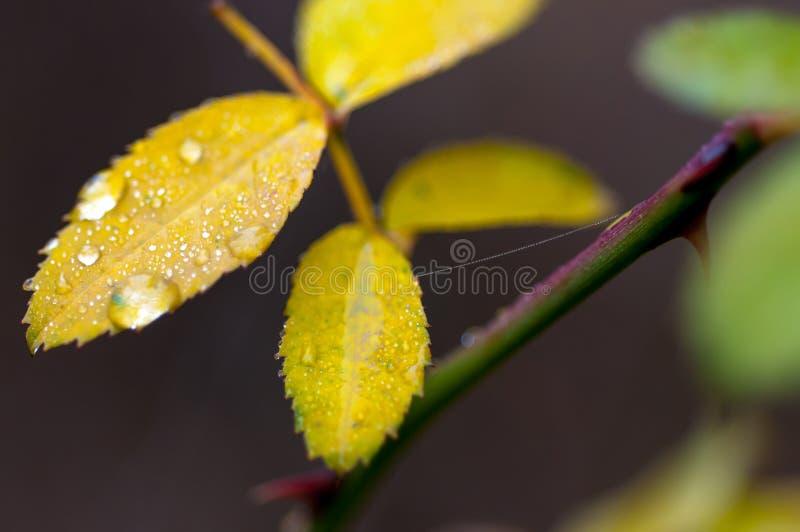 De dichte omhooggaande die macro van de waterdaling op wild roze blad wordt geschoten stock afbeelding