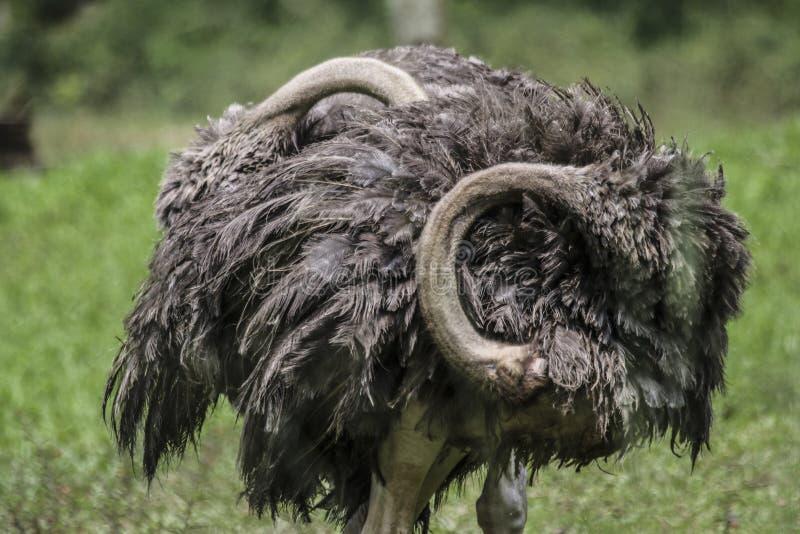 De dichte omhooggaande mening van de het wildportrettering van struisvogel met grijze veren stock afbeelding