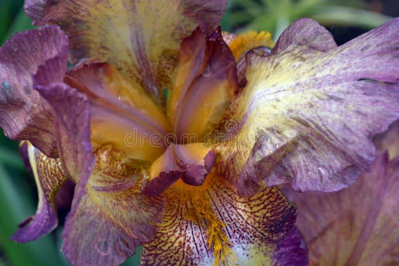 De dichte omhooggaande, purper-gele kleur van de irisbloem stock afbeeldingen