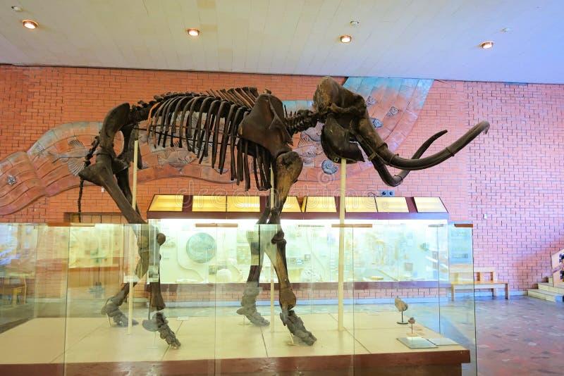 1 de diciembre de 2018 Rusia, Moscú Museo de la paleontología Esqueleto gigantesco fotografía de archivo