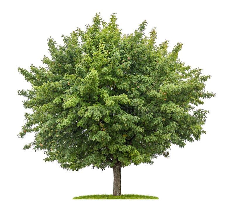 De dienstboom met vruchten op een witte achtergrond stock foto's