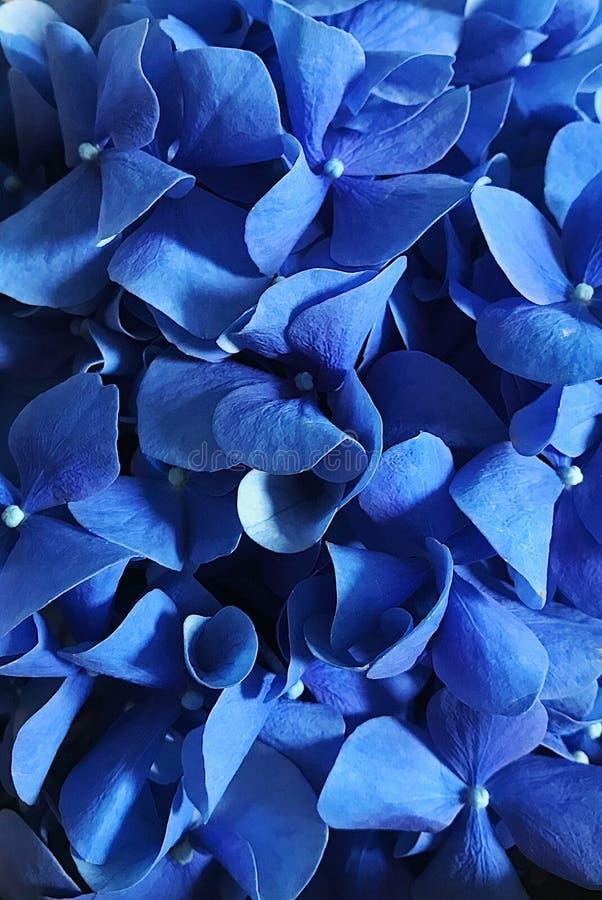 De diepte van het gebied voor zacht droomgevoel van de vertraging Hydrangea close-up stock afbeelding