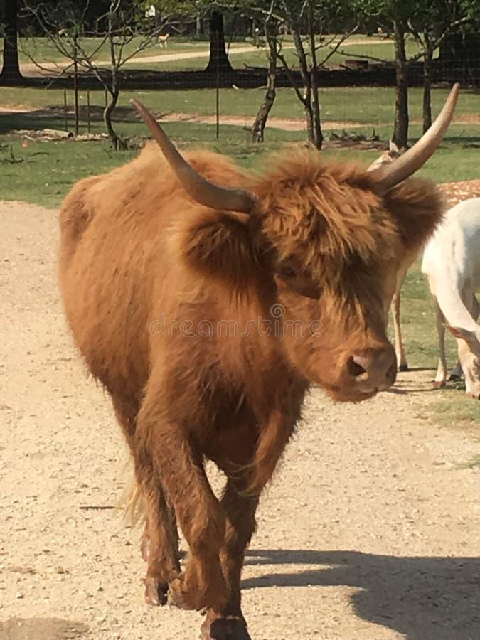 De dieren van de de safariauto van Texas stock fotografie