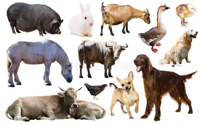 De dieren van het landbouwbedrijf Geïsoleerd over wit stock foto