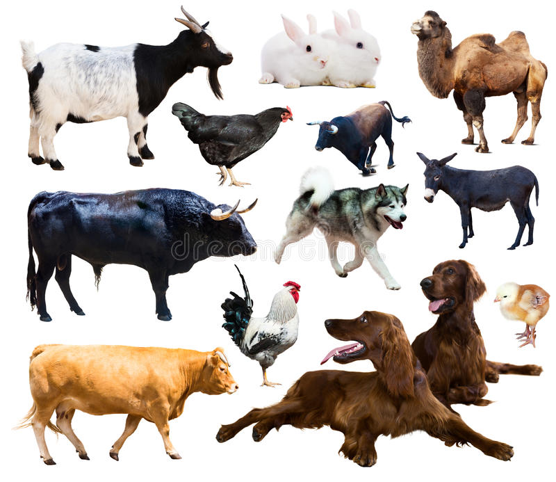 De dieren van het landbouwbedrijf Geïsoleerd over witte achtergrond stock afbeelding